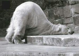 Polar bear asleep